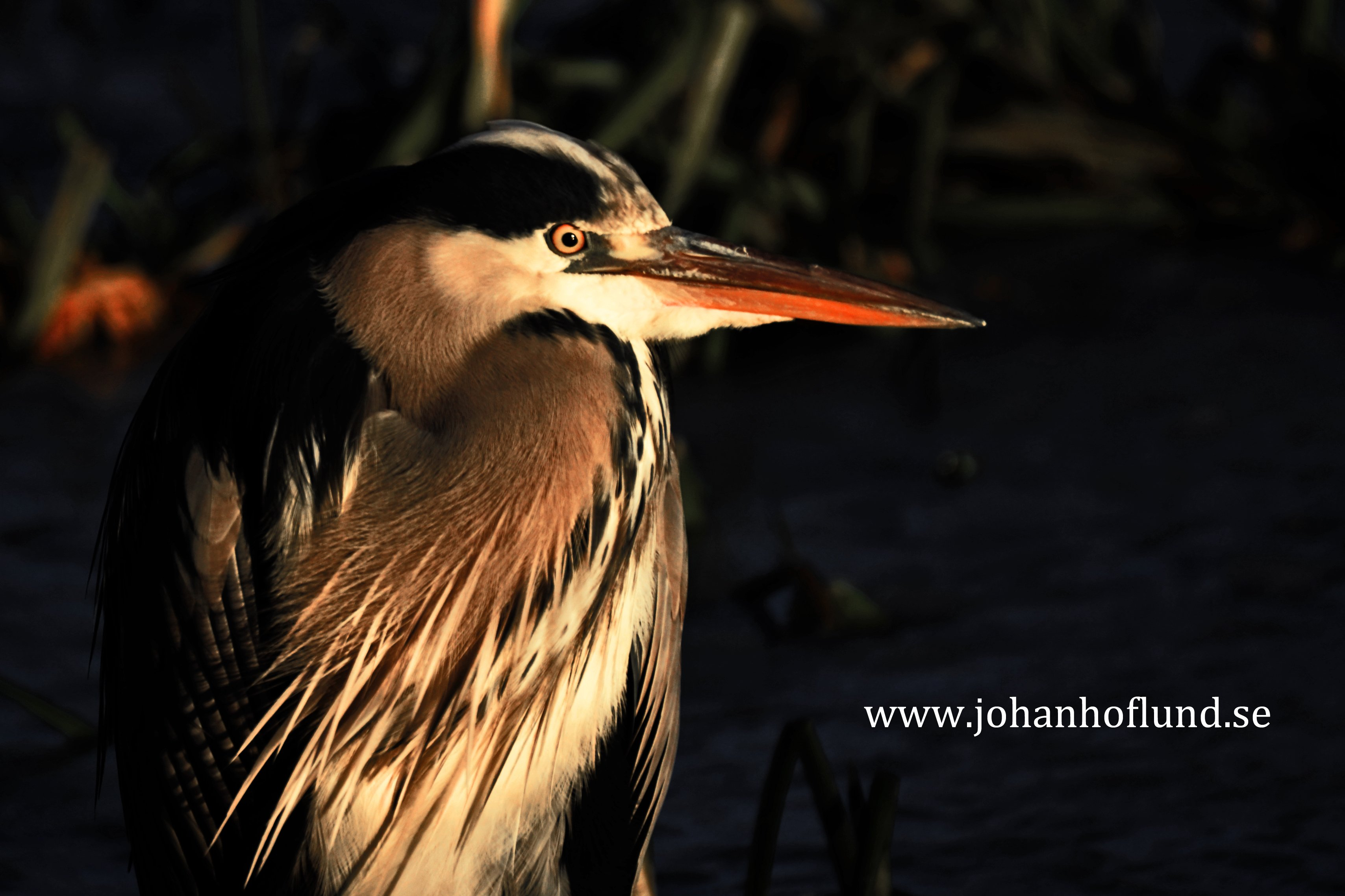 Pale winter sun on the heron